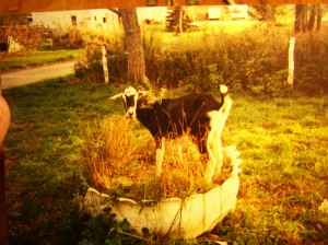 Jasper, my mother's goat