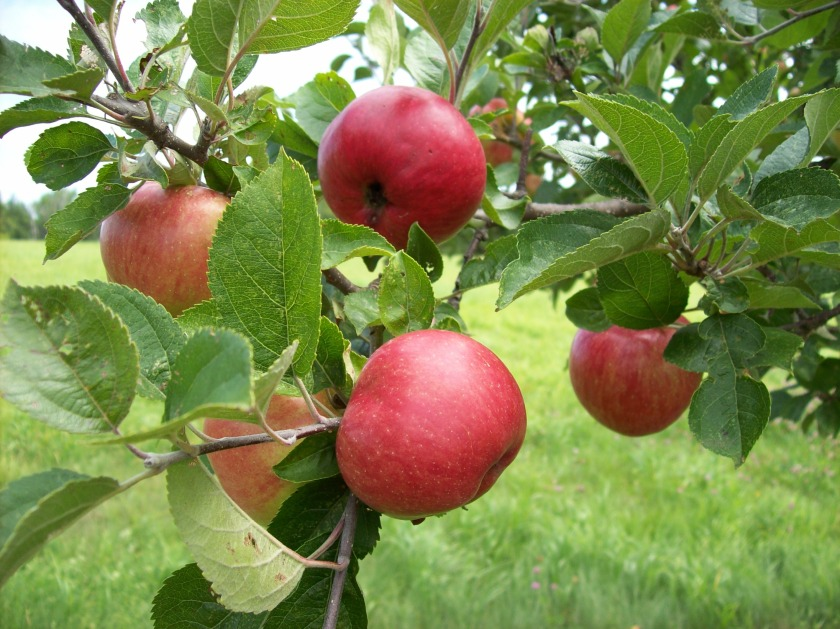 image of apples on the tree