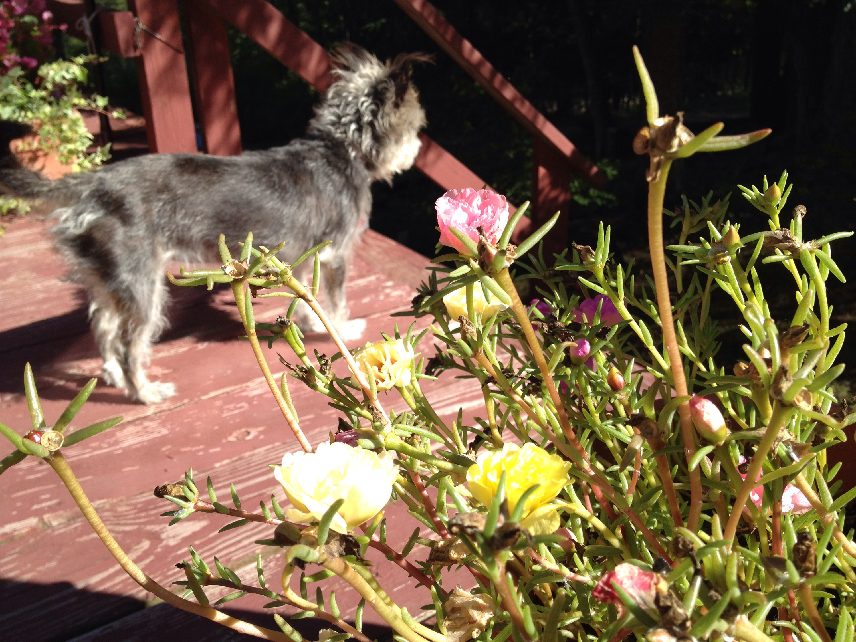 a picture of caper the terrier on a porch looking for chipmunks next to a portulaca plant.