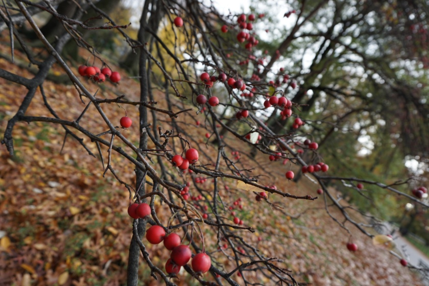 an image of red berries on a bare branch
