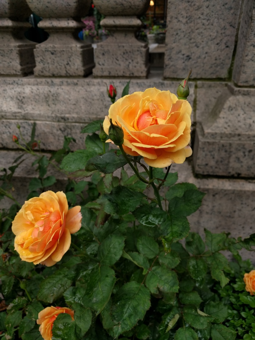 A picture of a blooming rose bush and the stone garden fence